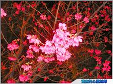 麗寶樂園緋紅夜櫻