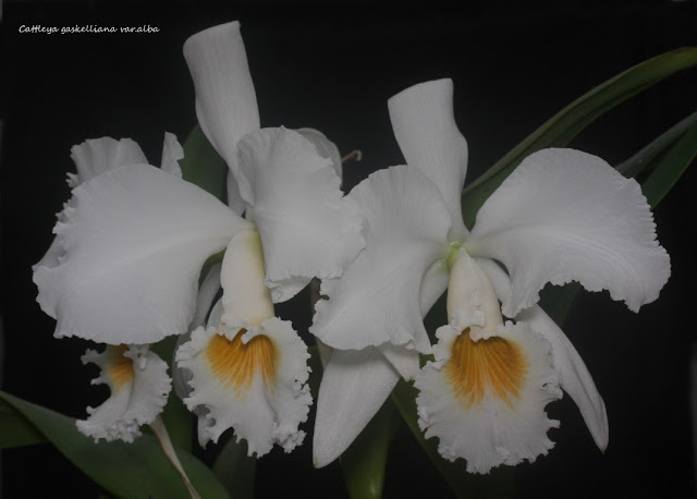 Cattleya gaskelliana var.alba IMG_5859b%2520%2528Medium%2529