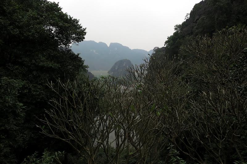 Bare frangipani trees