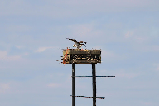 Nature on the Edge of New York City: Ospreys Return to Lower New ...