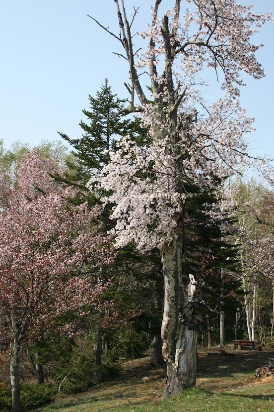 金比羅公園の桜(3)
