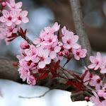 Prunus pisardii Atropurpurea
