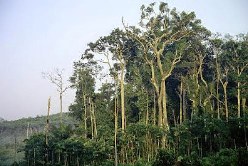 Climate Warming Unlikely To Cause Near Term Extinction Of Ancient Amazon Trees