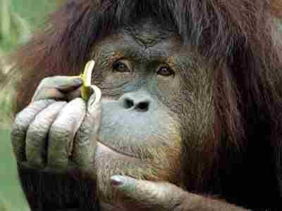 monyet makan pisang