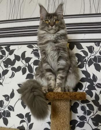 Кошка мейн-кун питомник Zen Garden Владивосток