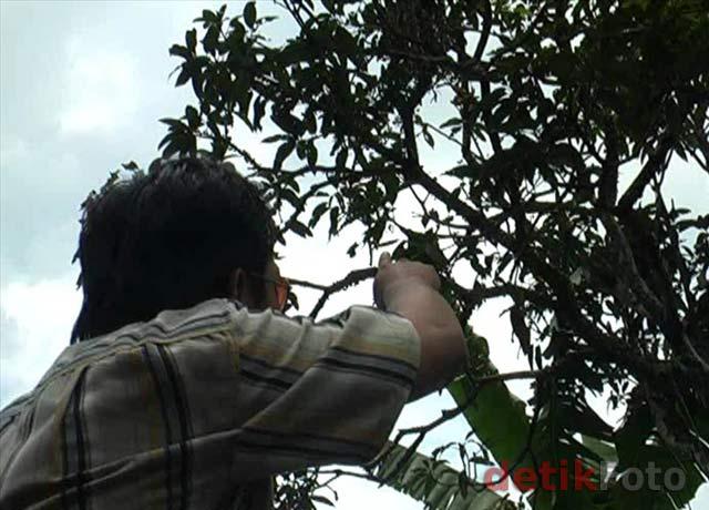Mangga Berbuah Pisang Pohon Mangga Berbuah