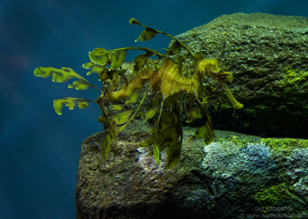 A camouflaged seahorse