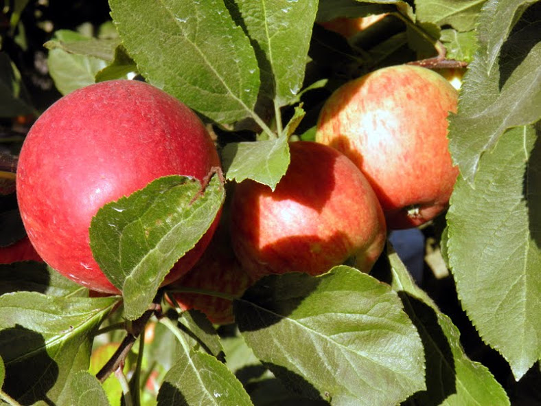Best Apple Picking In The Bay Area