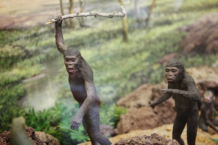 Alle Stationen auf dem Weg vom Affen zum Menschen werden gezeigt