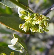 Hesperaloe (Hesperaloe funifera)