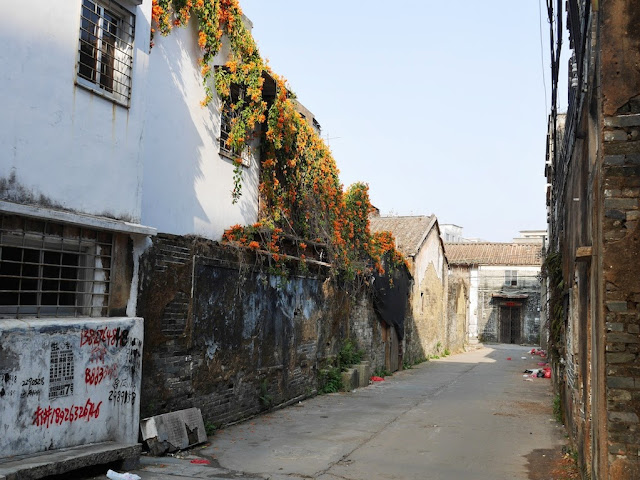 flowering plant growing on a older buiding south of Jiaoqiao New Road (滘桥新路) in Yangjiang