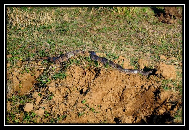 Snake - Barka Bandh