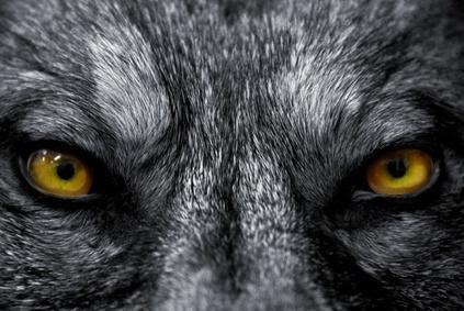 occhi lupo