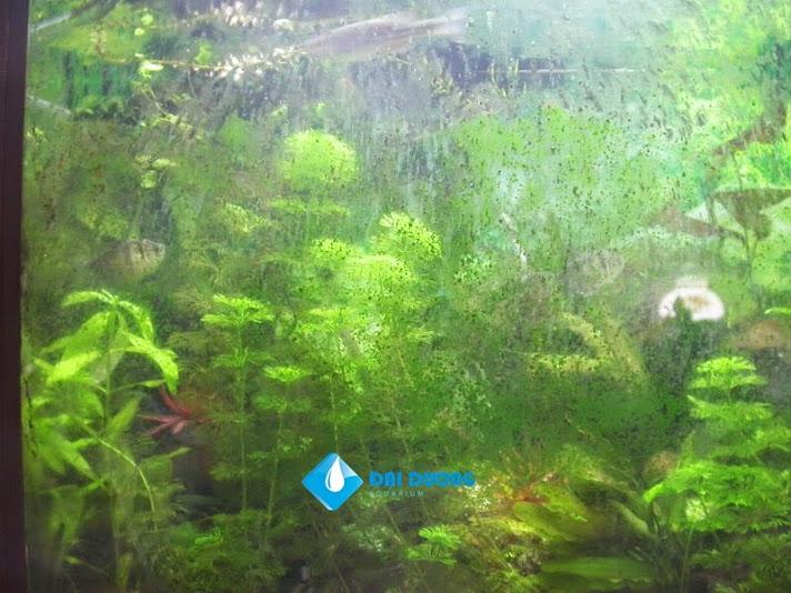 diệt tảo xanh trong hồ cá rồng