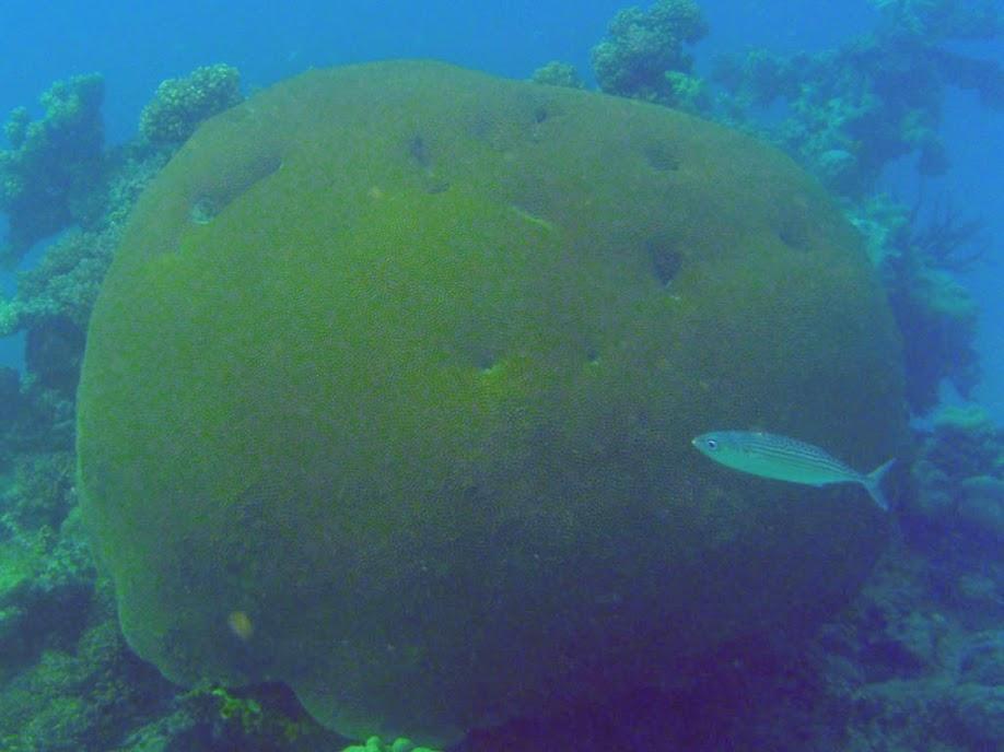 Rastrelliger kanagurta (Indian Mackerel), Naigani Island, Fiji.
