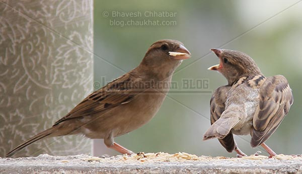 Baby sparrow demanding feed from mother sparrow