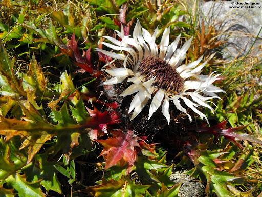 flora montana: Ciurul zânelor (Carlina acaulis)