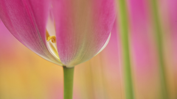 tulip blossoms wallpaper