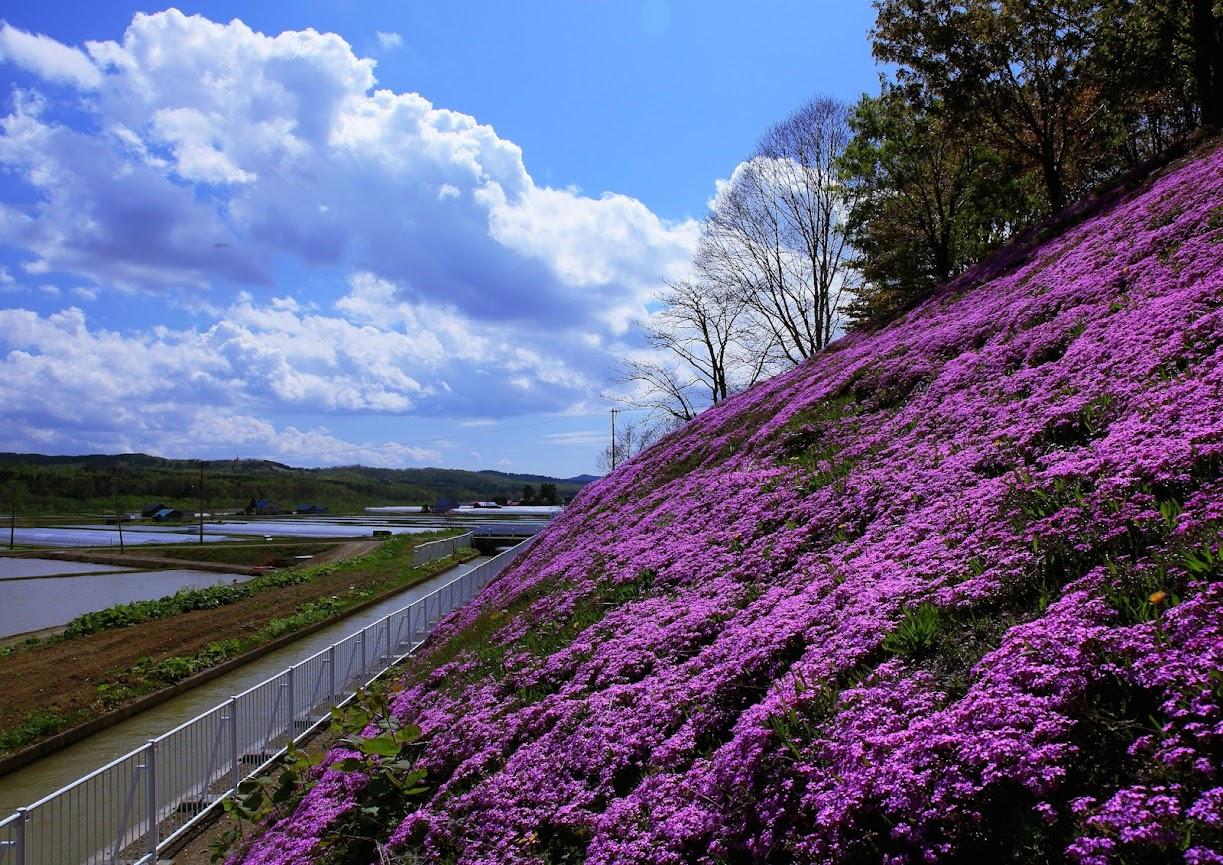 日陰から観た芝桜はもっと紫色