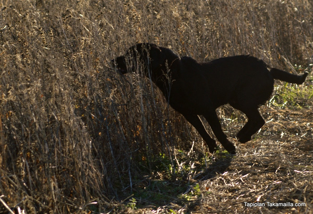 Labradorinnoutaja treenaa