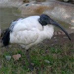 Ibis sagrado / Foto: Jordi Clavell