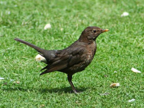 Blackbird Totem Animal