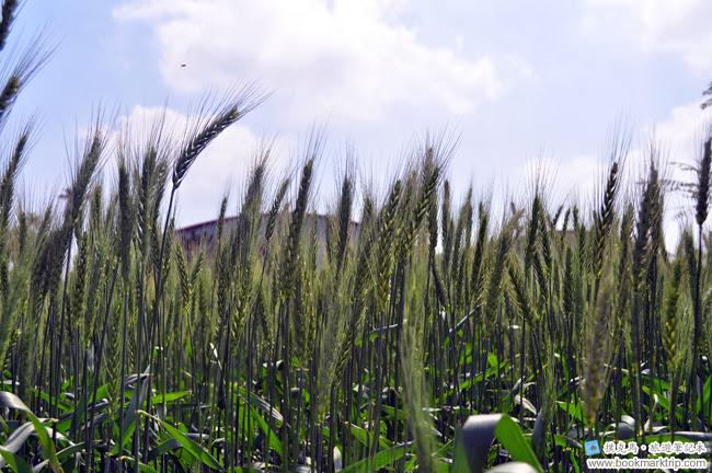 2014小麥文化節 - 小麥顯得處處動人