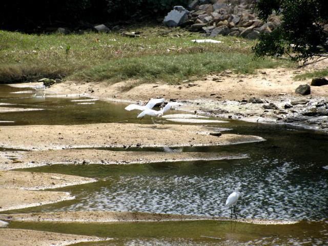 cranes in the creek