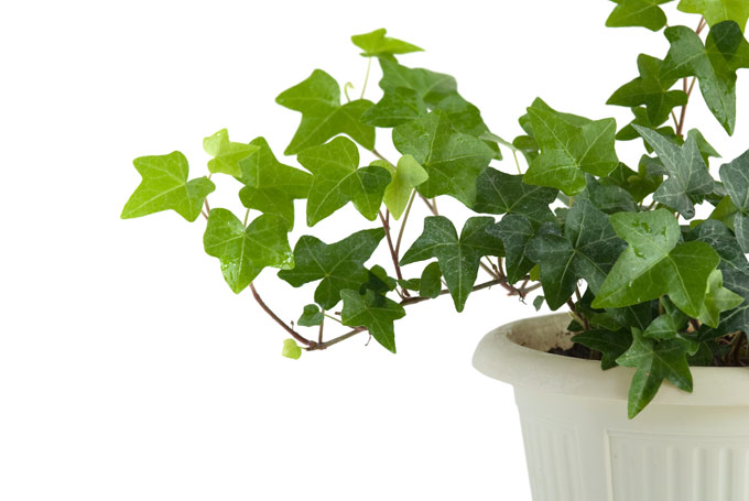 english-ivy-.jpg