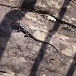 Lizard (102153)