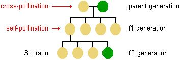 Description: diagram showing the result of cross-pollination in the first 2 offspring generations--in generation f1 all are yellow peas but in generation f2 the ratio of yellow to green peas is 3 to 1