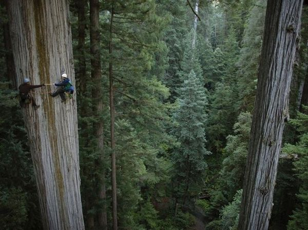 4_Climbing Redwoods