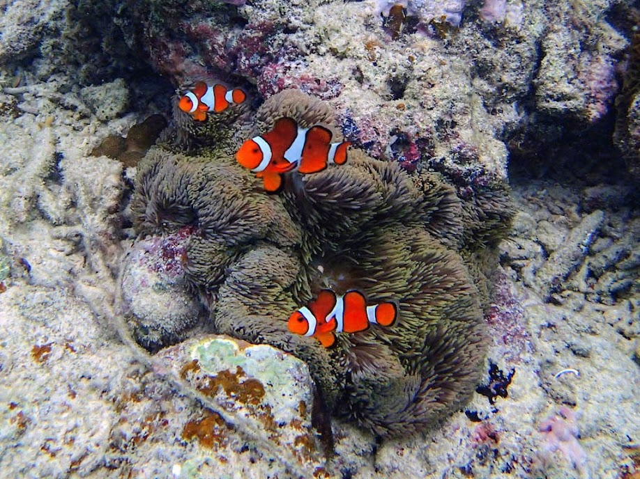 Amphiprion ocellaris (Ocellaris Clownfish) with Stichodactyla gigantea (Giant Carpet Anemone), Entatula Island Beach Club reef, Palawan, Philippines.