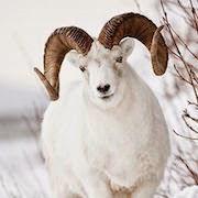 К чему снится белая коза женщине