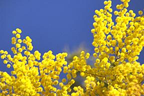 Sizilien - Blühende Mimosen im Winter.