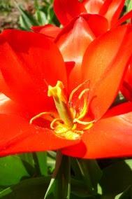 Tulipan Greiga 'Red Riding Hood'