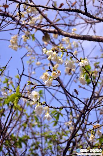 芬園花卉生產休憩園區 - 福爾摩沙櫻