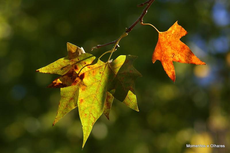 Outono, Folhas de plátano