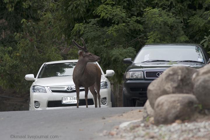 Khao Kheow Open Zoo: Deer