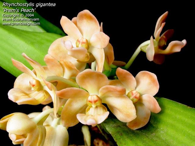 Растения из Тюмени. Краткий обзор - Страница 9 Rhynchostylis%252520gigantea%252520peach1