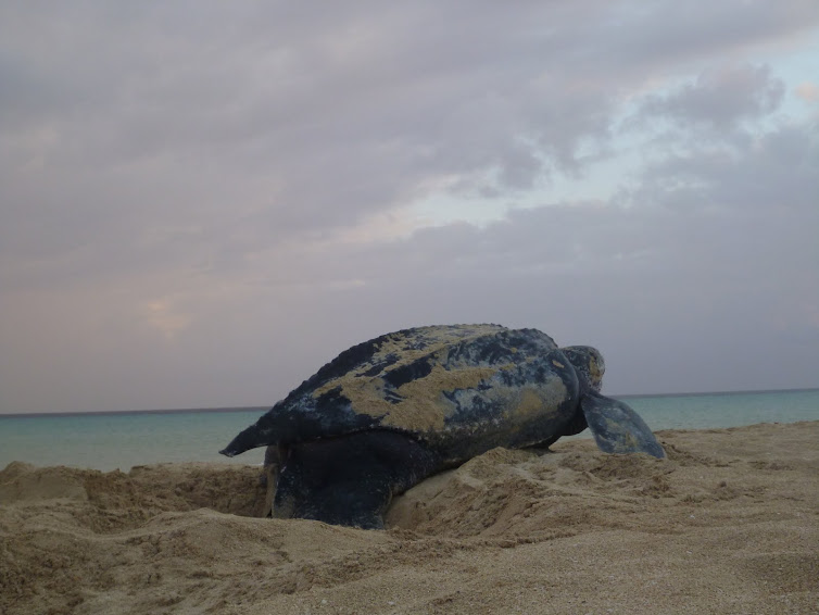 Leatherback Sea Turtle returns to Caribbean sea at Sandy Point National Wildlife Refuge.