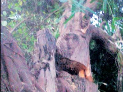 wajah misteri pada pokok tembesu
