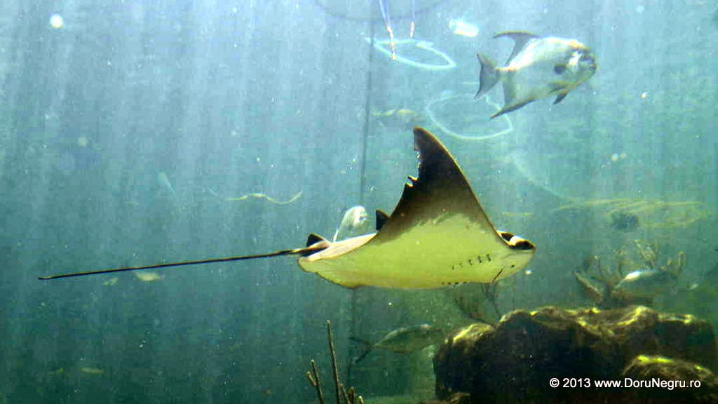 A stingray swims in a tank, Miami Seaquarium