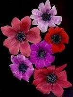 Anemones Wind Flower Image