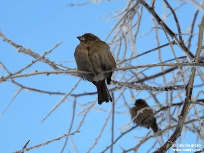 peisaj de iarna cu vrabiute zgribulite