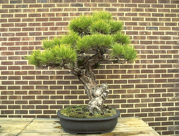 I love bonsai