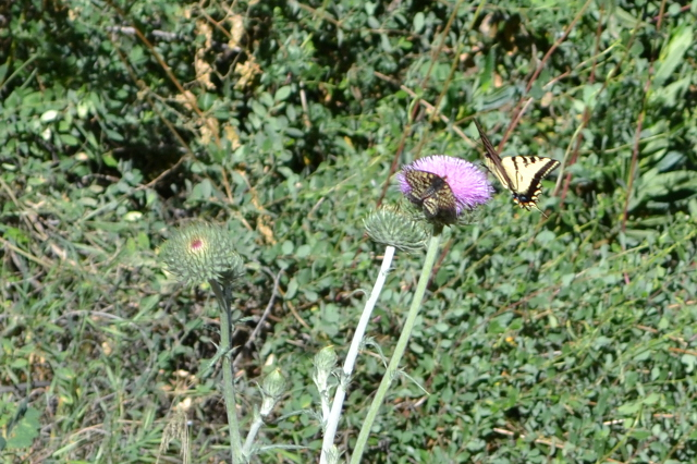 butterflies on a thistle