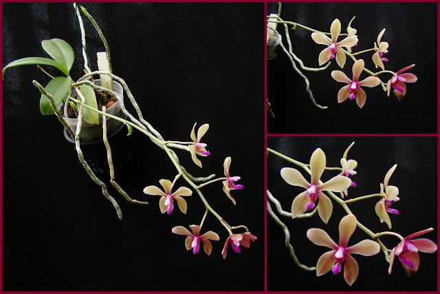 Phalaenopsis honghenensis x bastianii 2014-11-151