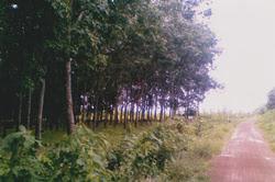 สวนยางสกลนคร อ.สว่างแดนดิน:rubber plantation sale