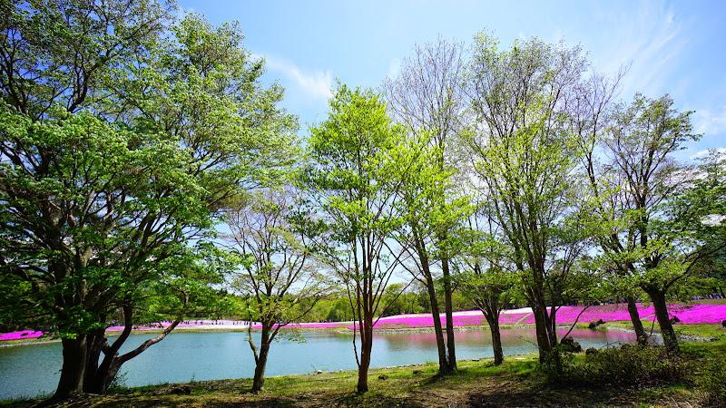 富士芝桜まつり 写真8